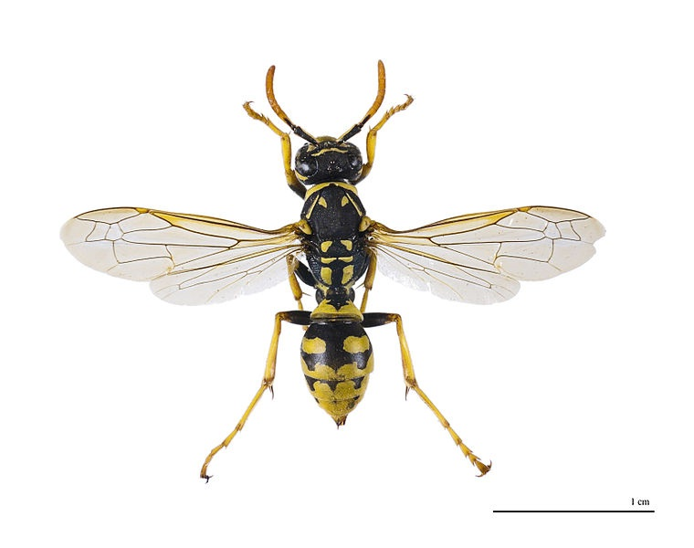 black paper wasp Common paper wasps include the yellow paper wasp (25 to 45 mm) wasps sport brilliant gun metal, blue-black bodies carried on fiery orange wings.