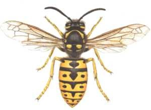 avispa vespula germanica1