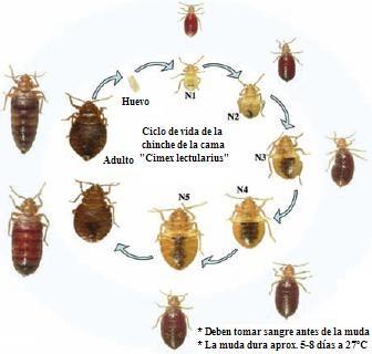 Control de plagas tratamientos y como eliminar chinches for Como eliminar cucarachas del desague