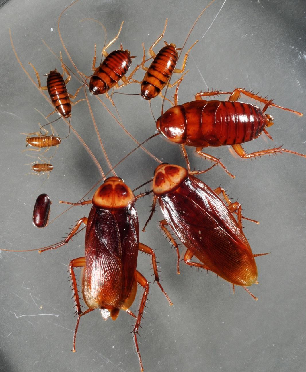 Control de plagas tratamientos y como eliminar cucarachas - Insectos en casa fotos ...