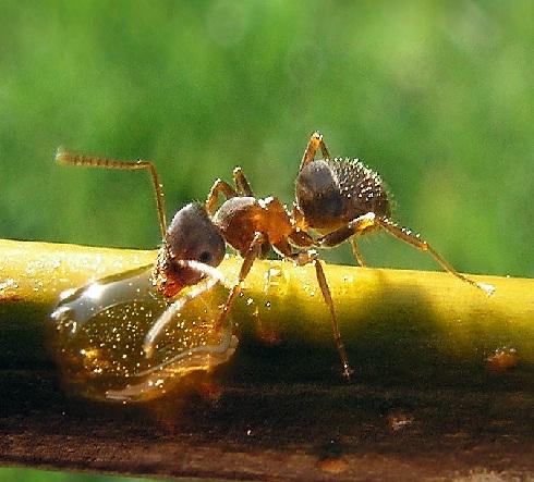 Control de plagas tratamientos y como eliminar hormigas for Como eliminar plaga de hormigas