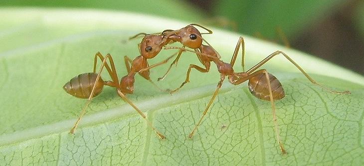 VENENO DE DENDROBATIDOS Hormigas