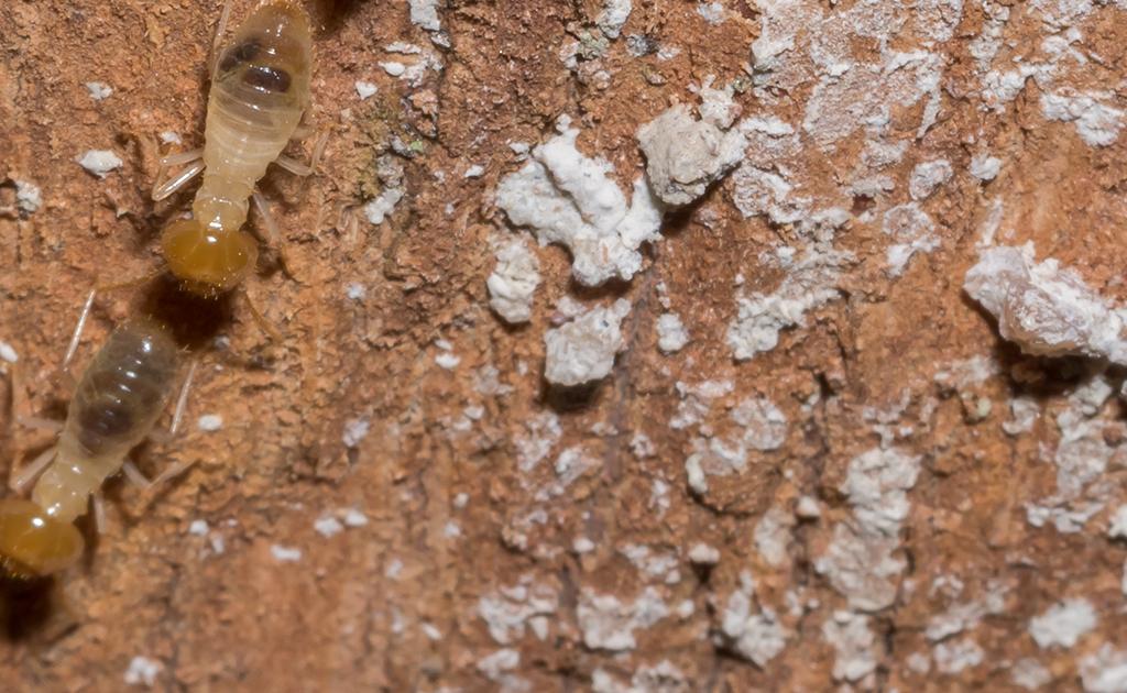 Cebos para termitas
